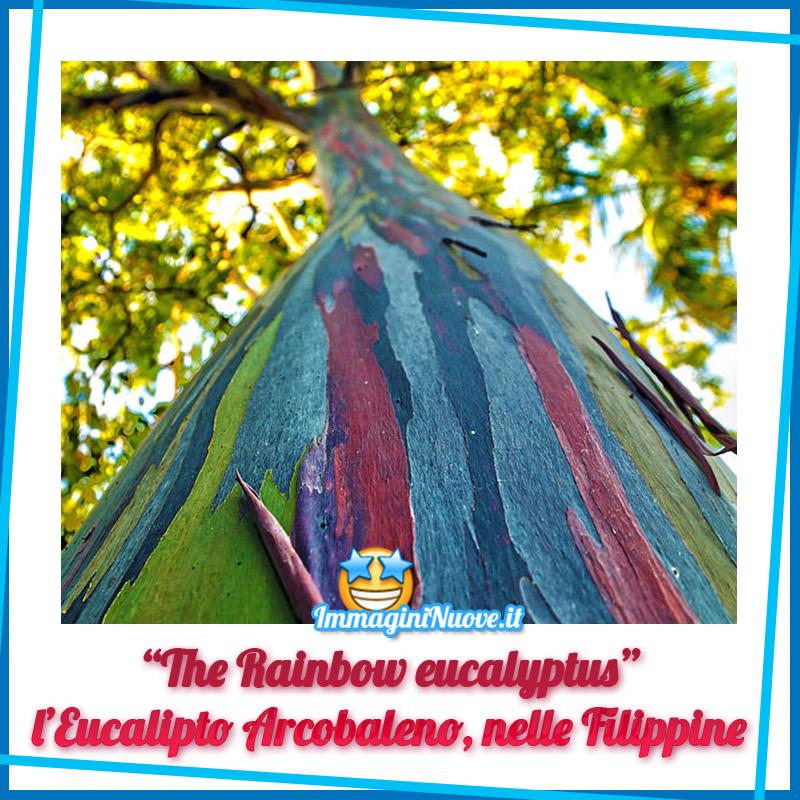 """""""The Rainbow Eucalyptus"""", l'Eucalipto Arcobaleno, nelle Filippine"""